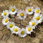 daisies in a heart shape on top of a tree trunk